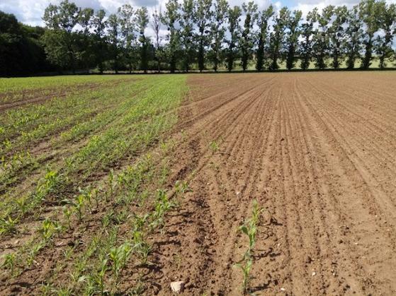 Plantes-appâts maïs