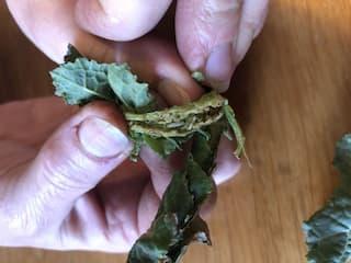 larves-d-insecte