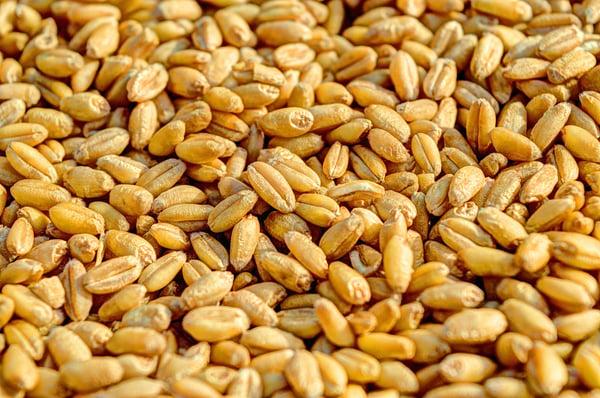 semence ferme blé grain moisson semis agriculture