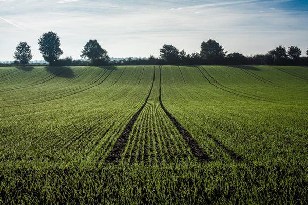parcelle de blé sortie hiver