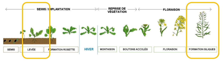 stades colza croissance végétation